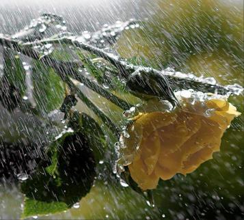 rosa-lluvia