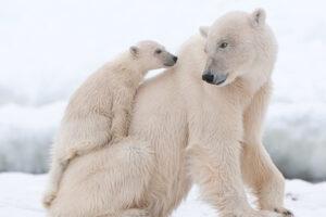 El hijo del oso polar